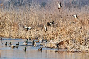 Tips To Help Make Your Louisiana Duck Hunting Trip A Success